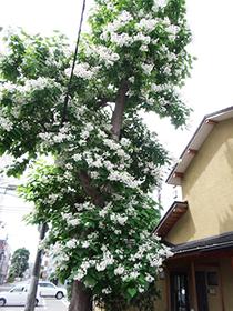 札幌店 店舗横アメリカキササゲ伐採